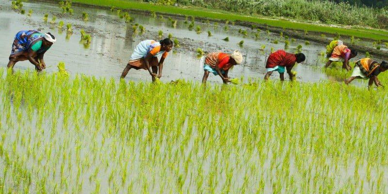 Вирощення рису